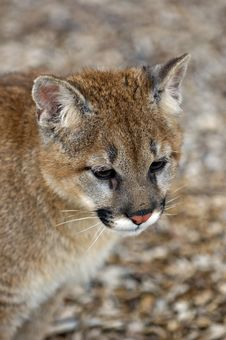Free Cougar (Felis Concolor) Portrait Stock Photography - 654472