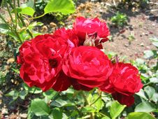 Free Red Rose Royalty Free Stock Photos - 654498