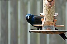 Grackle Bird Royalty Free Stock Photo