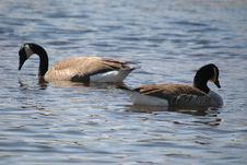 Free Geese On Water Stock Images - 655544
