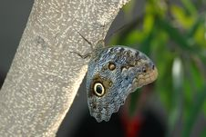 Free Butterfly-owl  (caligo Eurilochus) On Tree 2 Royalty Free Stock Photo - 655555
