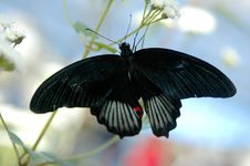 Free Mormon (papilio) On White Flower Royalty Free Stock Image - 655556