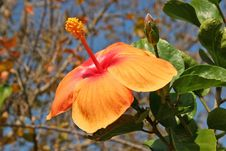 Free Hibiscus Royalty Free Stock Photography - 655807