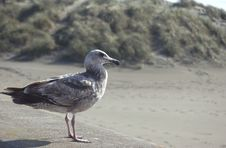 Free Sea Gull Royalty Free Stock Photography - 656017