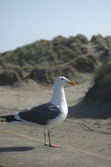 Free Another Sea Gull Picture Stock Photo - 656020