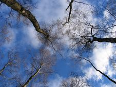Free Skyward Through The Trees Royalty Free Stock Photo - 656115
