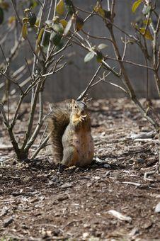 Free Squirrel Stock Photos - 656133
