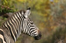 Free Zebra Stock Photos - 656233