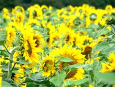 Free Sunflowers Royalty Free Stock Image - 656246