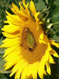 Free Sunflower Royalty Free Stock Images - 656269