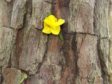 Free Daffodil On Bark Royalty Free Stock Photography - 656297