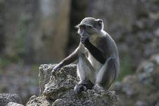 Free Juvenile Monkey Stock Image - 656931