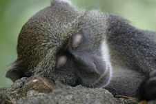Free Monkey Asleep Royalty Free Stock Image - 656976