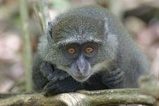 Free Juvenile Monkey Stock Images - 656984