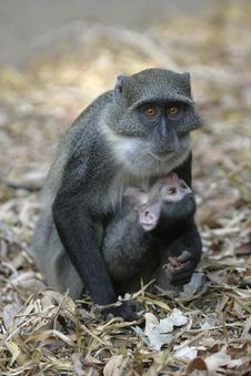 Free Monkey Mother And Infant Royalty Free Stock Photography - 657007