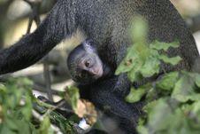 Free Monkey Infant Stock Photography - 657022