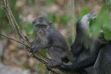 Free Monkey Infant Royalty Free Stock Photos - 657028