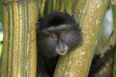 Free Blue Monkey Royalty Free Stock Images - 657099