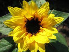 Free Sunflower Stock Photo - 657140