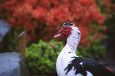 Free Colorful Goose Royalty Free Stock Photography - 657307