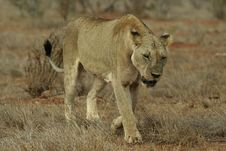 Free Lion Stock Photography - 657402
