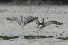 Free Whimbrel Stock Photography - 657442