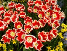 Free Tulips For Picking Stock Photo - 657790