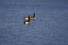 Free Canadian Geese Royalty Free Stock Photos - 658328