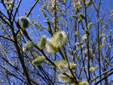 Free Pussy Willow Stock Photo - 659420
