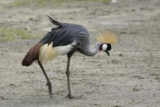 Free Crowned Crane Stock Image - 659471