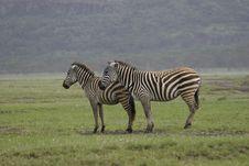 Free Zebra Royalty Free Stock Photography - 659567