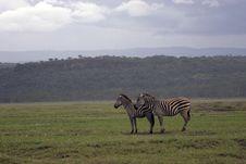 Free Zebra Stock Photo - 659570