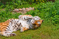 Free Tiger Stock Photography - 6502392