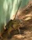 Free A Rhinoceros Iguana, Cyclura Cornuta Stock Images - 6504584