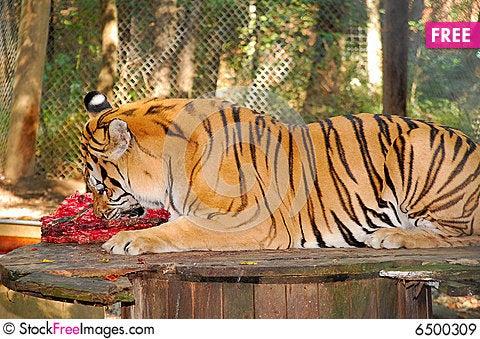 Free Bengal Tiger Eating Royalty Free Stock Images - 6500309