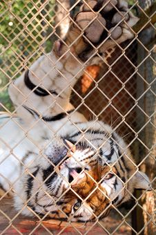 Free Playful Bengal Tiger Stock Images - 6500204