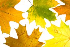 Free Maple Leaves Royalty Free Stock Photos - 6500468