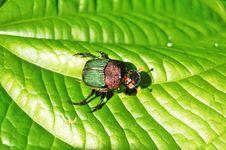 Free Green Beetle Royalty Free Stock Photos - 6500818
