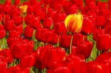 Free Single Yellow Tulip In Field Of Red Royalty Free Stock Photos - 6501248