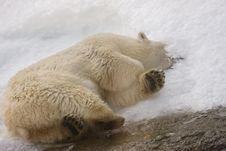 Free White Polar Bear Stock Photography - 6501452
