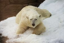 Free White Polar Bear Stock Photography - 6501522
