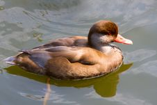 Free Duck Royalty Free Stock Image - 6501866
