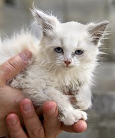 Free White Kitten 1 Stock Image - 6502021