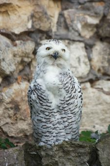 Free Snowy Owl Royalty Free Stock Images - 6502109