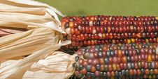 Free Pair Of Indian Corn Stock Photo - 6502450