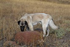Free Kangal Royalty Free Stock Photography - 6503077