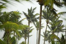 Free Coconut Trees Shaken Royalty Free Stock Photography - 6503187