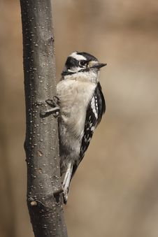 Free Downy Woodpecker Stock Images - 6503264