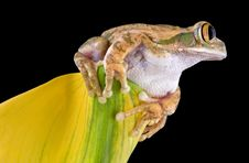 Free Big-eyed Tree Frog On Flower Royalty Free Stock Photos - 6503528