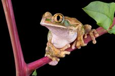 Free Big-eyed Tree Frog On Pokeweed Stock Images - 6503574